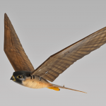 Aeroporto canadense será o primeiro do mundo a usar falcão robótico para afastar pássaros